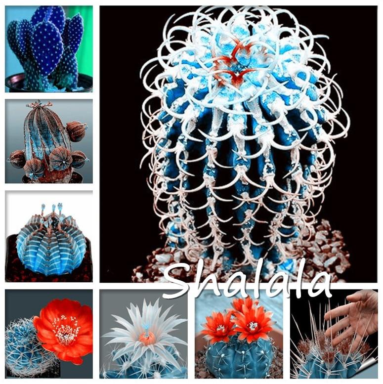 200 pièces exotique bleu Succulent Cactus Rare Cactus plantes vivaces herbe bonsaï Pot fleur intérieur pour jardin Semilla de Flores