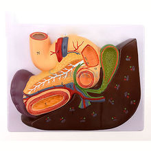Cameo Type Human Liver and Duodenum Anatomy Model Medical Teaching Visceral Specimen