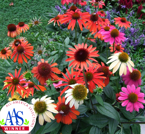 100 Original 50 Pieces Echinacea Purpurea Cheyenne Spirit Mix Perennial Ornamental Purple Coneflower Flower Seeds