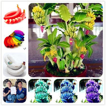 100 pcs/bag Rare rainbow banana bonsai fruit vegetable fruit plants Organic Heirloom planting for home garden Easy to Grow(China)