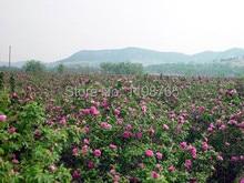 100 PCS 15kinds Beautiful Flower seeds Rainbow rose seed Black Rose Seeds of roses seedlings climbing rose plant