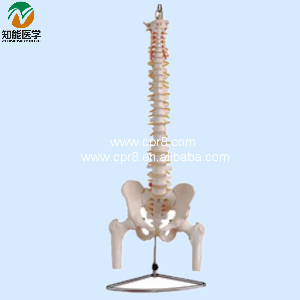 Life-size Vertebral Column With Pelvis And Half Leg Bones Model BIX-A1013 WBW141 bix a1009 life size vertebral column spine with pelvis model