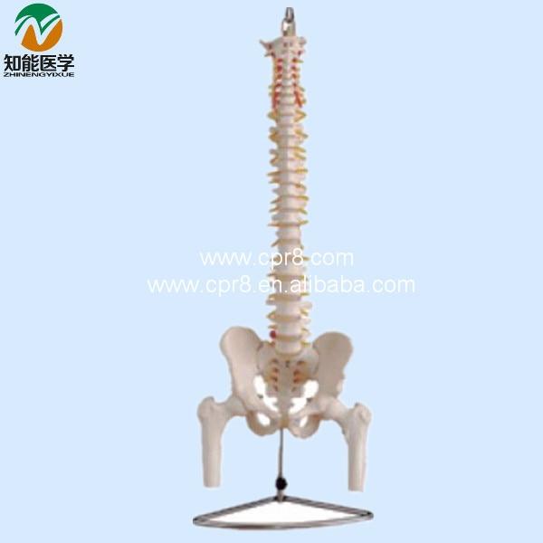 Life-size Vertebral Column With Pelvis And Half Leg Bones Model BIX-A1013 WBW141 life size vertebral column spine with pelvis model bix a1009 w051
