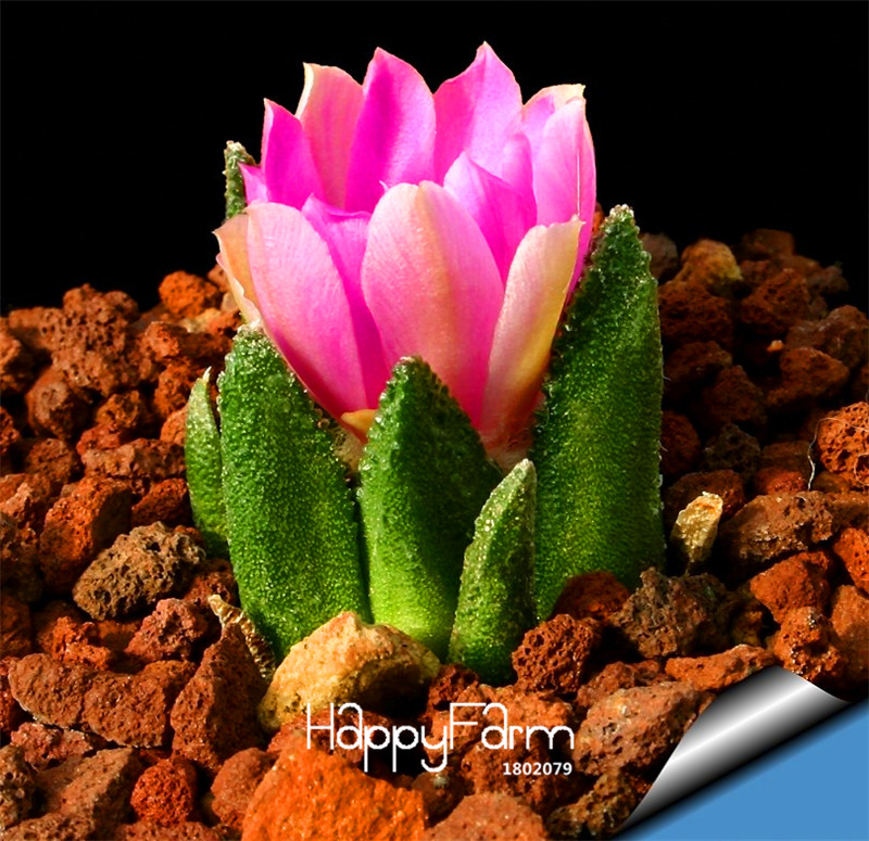 New Arrival!10pcs/Pack Fairy Succulents Seeds anti-Radiation,Imported cactus seeds hybrid bonsai seeds Flowering,#G5VYC4