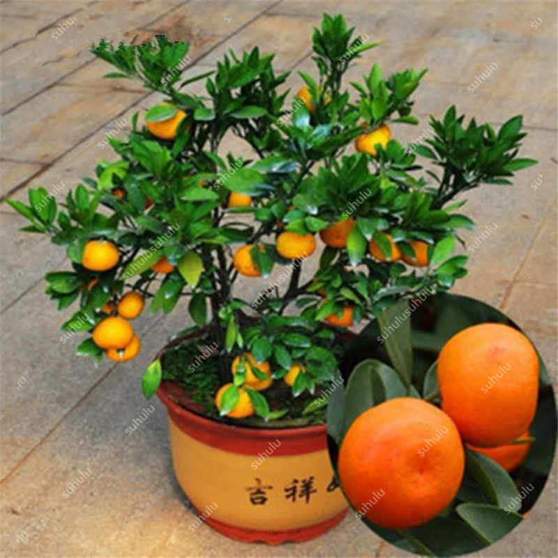 Free Shipping 20 pcs Orange Balcony Patio Potted Fruit bonsais Orange bonsais China Climbing Plants Orange Tree potted plants