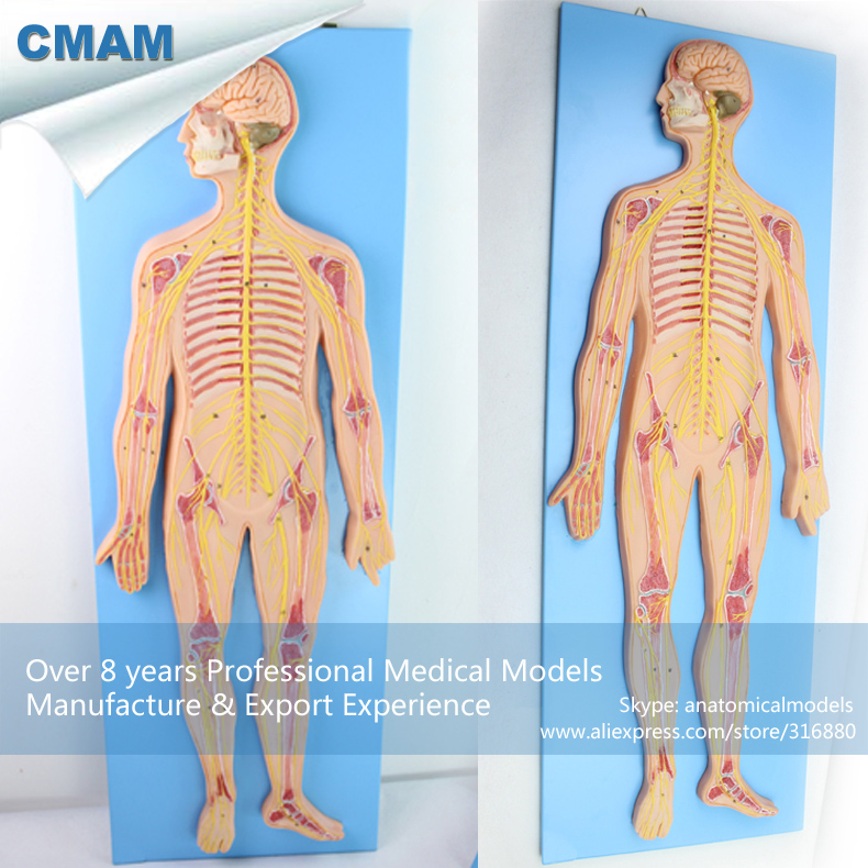 12417 CMAM-BRAIN19 Half Size Human Nervous System Study Model, Medical Science Educational Teaching Anatomical Models cmam spine11 human vertebral column w half femur highly detailed model medical science educational teaching anatomical models
