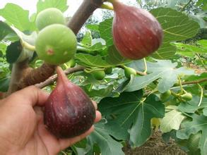 50 Seeds / Pack, Balcony Patio Potted Fruit Trees Planted Seeds, Fig  Seeds In Bonsai From Home U0026 Garden On Aliexpress.com   Alibaba Group