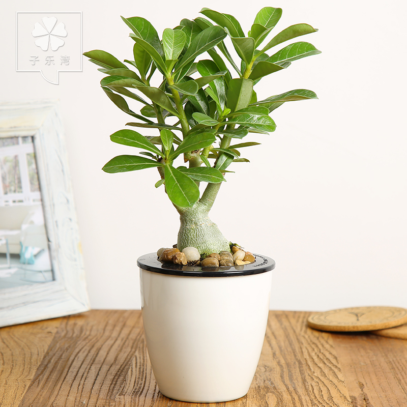 Desert Rose Plants Potted Flowers Indoor Hydroponic Plant Flower Small  Office Desktop Green Bonsai Pots Containing In Flower Pots U0026 Planters From  Home ...