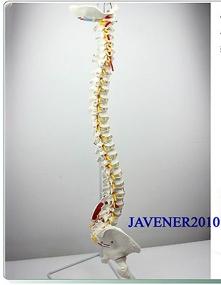 Life Size Huma n Anatomical Anatomy Spine Medical Model Pelvis Femurs +Stand 12463 cmam anatomy25 life size anatomy model male perineum on board medical science educational teaching anatomical models