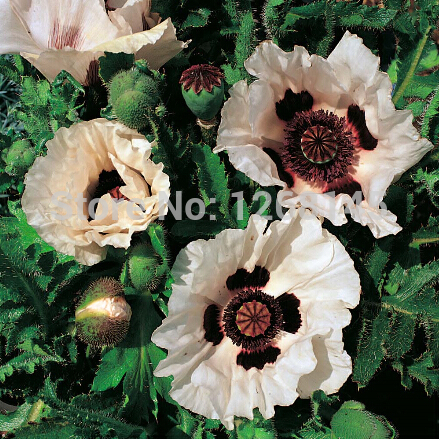 Hot ! 50pcs/lot Poppy 'Checkers'' Papaver rhoeas flower