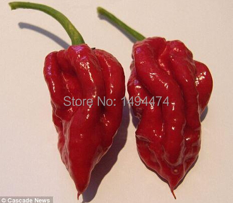 The World's Most Spicy Chili Pepper Seed Indian Devil Cayenne pepper Spiciness Reaches 1,001,301 Scoville Units Spiciness 50 pcs