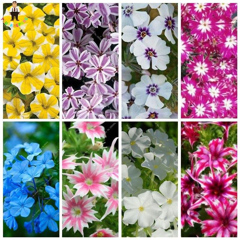 50 шт./пакет Флокс растений, сад Флокс прибытие Звездное сияние растений de flores раран Бесплатная доставка