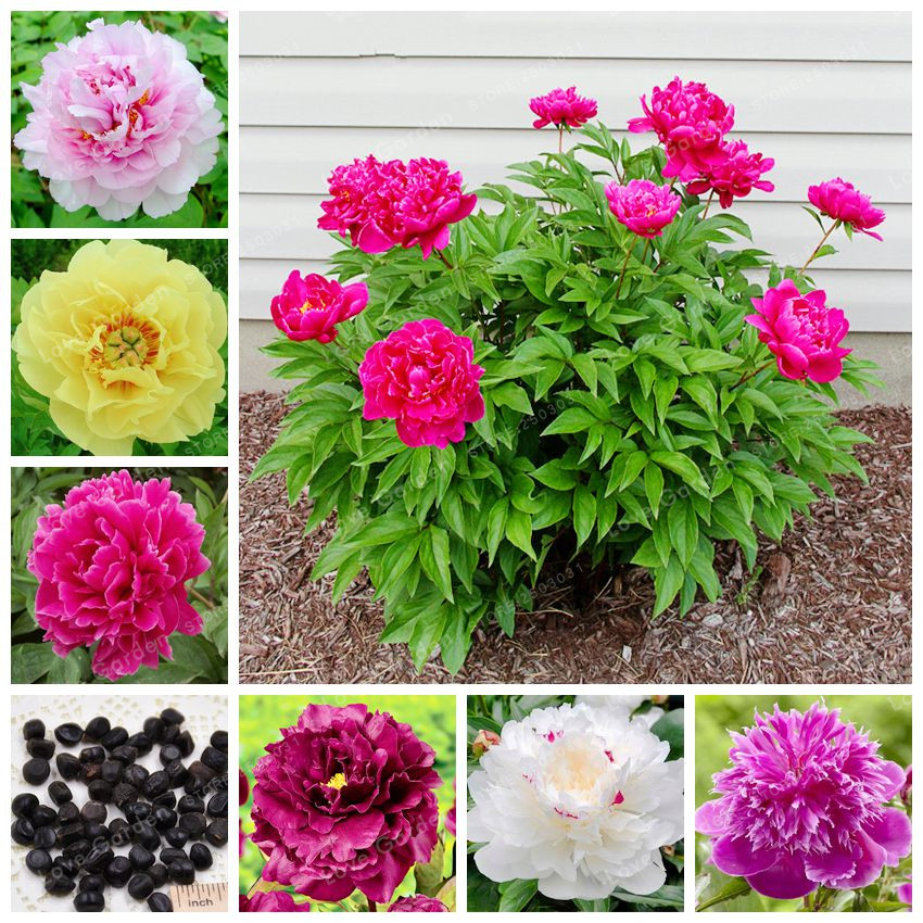10pcs Perennial Peony Flower Seeds Paeonia Suffruticosa Seeds Home Garden WST 01