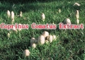 1Pack Coprinus Comatus Extract 30% polysaccharide 500mg x 100capsule free shipping