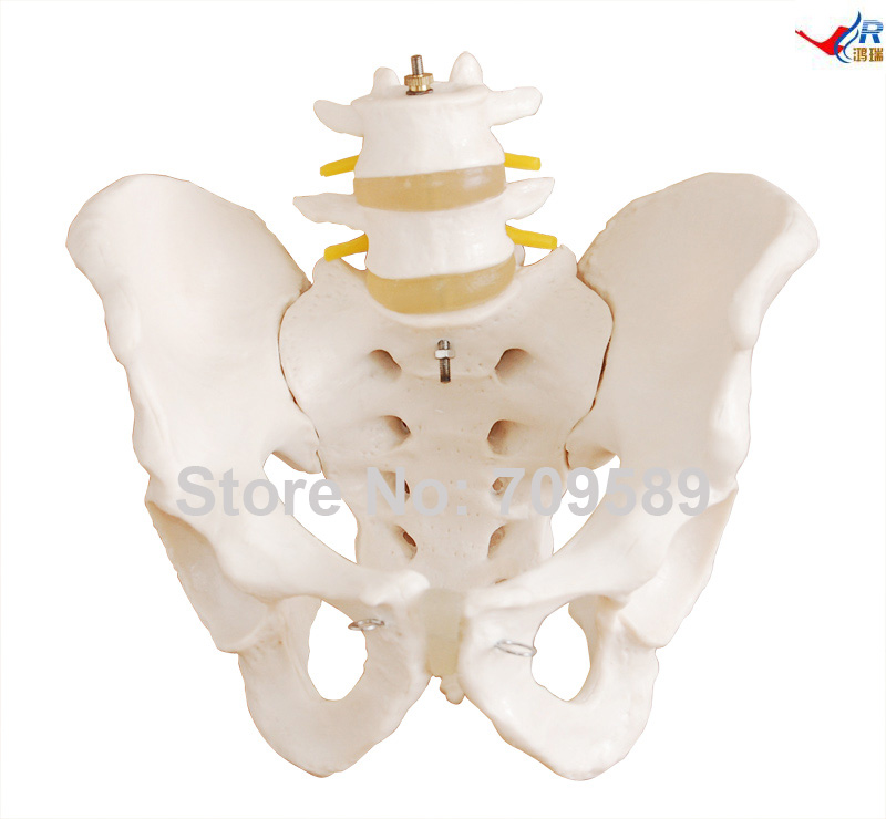 Life-Size Pelvis with 2pcs Lumbar Vertebrae life size pelvis with 5pcs lumbar vertebrae model pelvis model lumbar vertebrae model