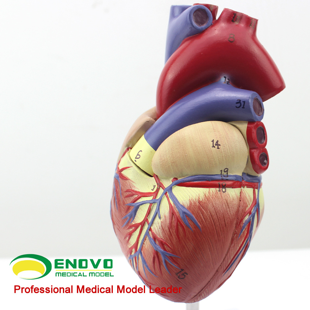 ENOVO1:1 Hi-Q Human Heart Anatomical Model of The Heart of The Heart Physician Teaching Tools human anatomical body integral organ distribution skin medical teach model school hospital hi q