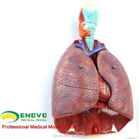 ENOVO Medical human larynx and cardiopulmonary dissection model respiratory system cardiac model ear, nose and throat thoracic