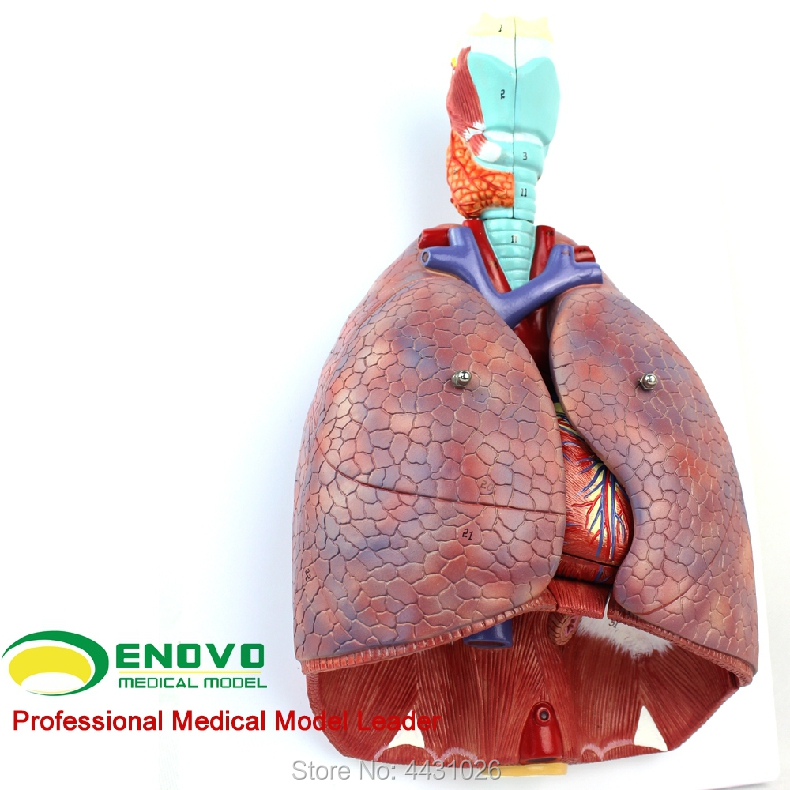 ENOVO Medical human larynx and cardiopulmonary dissection model respiratory system cardiac model ear, nose and throat thoracic human larynx model advanced anatomical larynx model