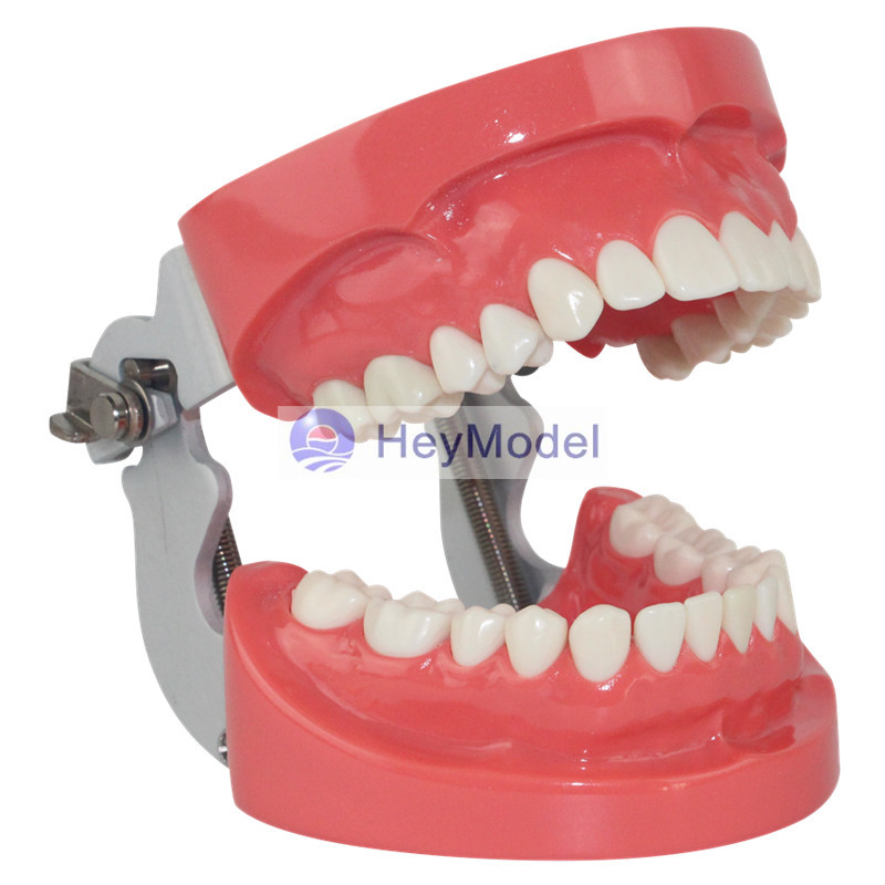 HeyModel Human Standard Teeth Model heymodel human teeth with pathology