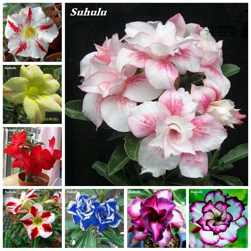 100% True Desert Rose Bonsai Ornamental Plants Balcony Indoor Potted Bloom Flowers Drawf Garden Adenium Obesum -1 Particles/ lot