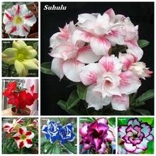 100% True Desert Rose Bonsai Ornamental Plants Balcony Indoor Potted Bloom Flowers Drawf Garden Adenium Obesum -1 Particles/ lot