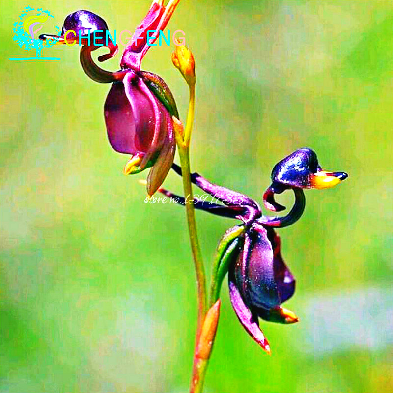 Hot Sale 100pcs Flying Duck Orchid Flower Seeds China Rare red Flowers Beautiful Bonsai Plants Home Garden Free Shipping