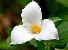 Свежий большой белый цветок Trillium семян, Trillium Grandiflorum, редкие большой цветок Trillium семян пакет