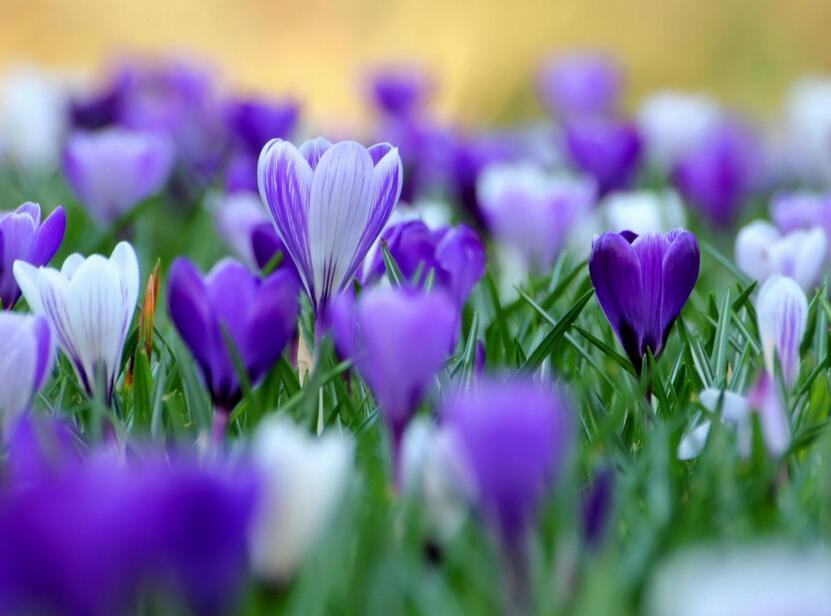 Шафран, шафран семена цветов, шафран, это не луковиц шафрана-10 Семена/мешок