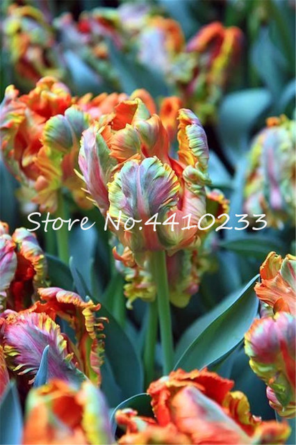 Bonsai 100 Pcs Bonsai Tulip (Not Tulip Bulbs)24 Varieties Rainbow Tulip High-Grade Flower Potted Plant Most Beautiful * Colorful