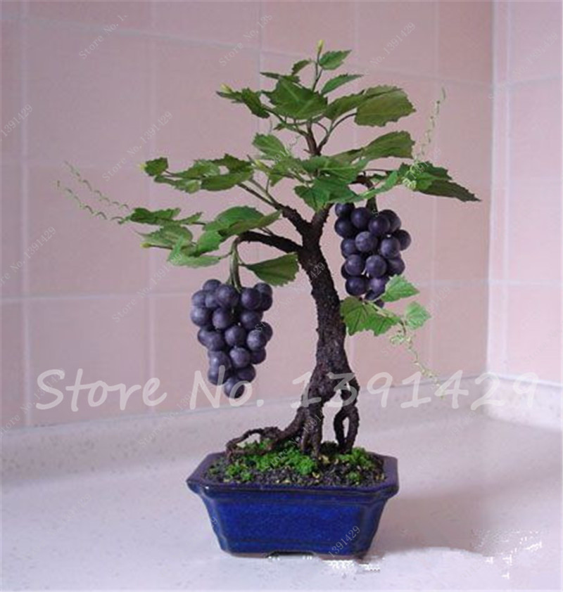 30 pcs Miniature Grape Vine Seeds, Indoor plant Grape Seeds Organic Fruit Seeds Succulent plants easy to grow plant for garden