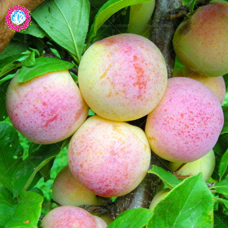 1PCS Peach Fruit Seeds Succulent Sweet Potted Bonsai or Tree Perennia Plants Seeds for Home Garden Courtyard