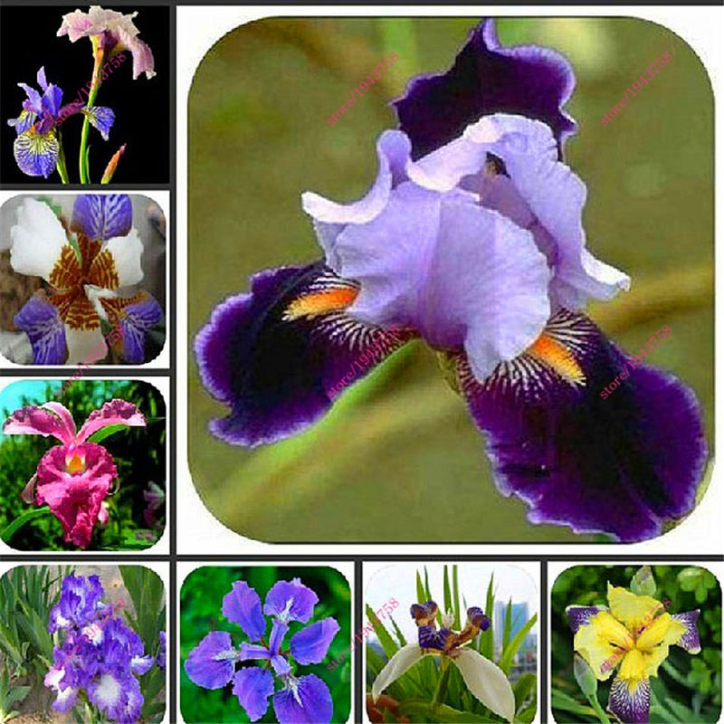 100pcs-Iris-orchid-seeds-Plant-bonsai-butterfly-iris-seed-flower-seeds-perennial-plant-for-home-garden