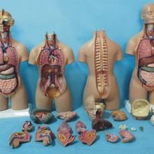 19 частей торс Модель 55 см человек торс анатомия модель сердце модель мозга
