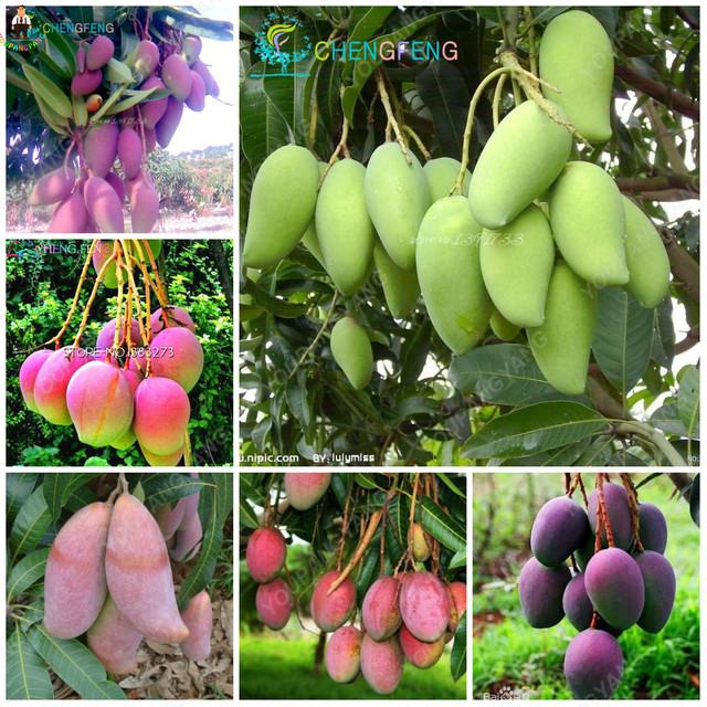 1pcs Mango Bonsai Delicious Fruit Mangifera Indica Perennial Indoor Subtropocics For Home Garden Pot Plants Easy Grow