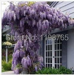 50pcs /bag hot selling Purple Wisteria Flower Seeds for DIY home garden 49%
