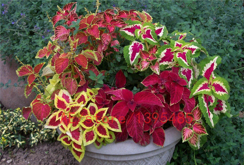 Aliexpress.Com : Buy 200Pcs Rainbow Dragon Coleus Flower Seed Pack