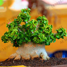 Sale!1pcs rare desert rose Plants real Thailand Adenium Obesum Garden flower bonsai plant mini tree giant flower free shipping,(China)