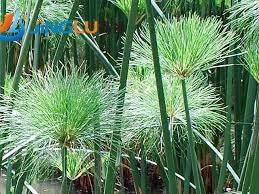50 biji pack papirus biji king tut cyperus keluarga tanaman air tumbuhan tropis di. Black Bedroom Furniture Sets. Home Design Ideas