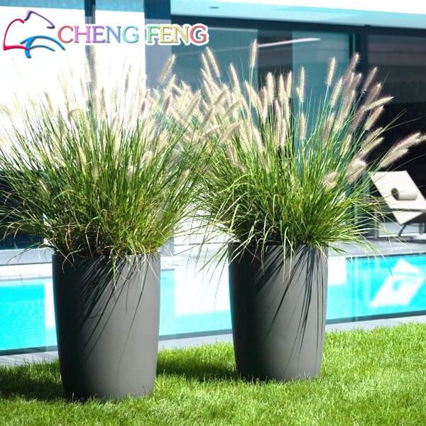 Half-hardy Perennial Fountain Grass Pennisetum Setaceum Fireworks bonsai , 50 bonsai / Bag, Pennisetum bonsai Free Shipping