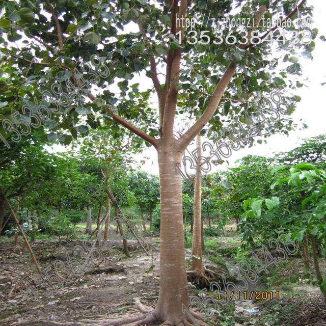 linden seeds bodhi tree ficus trees wholesale green foliage garden seeds free shipping 1 seeds - Ficus Trees