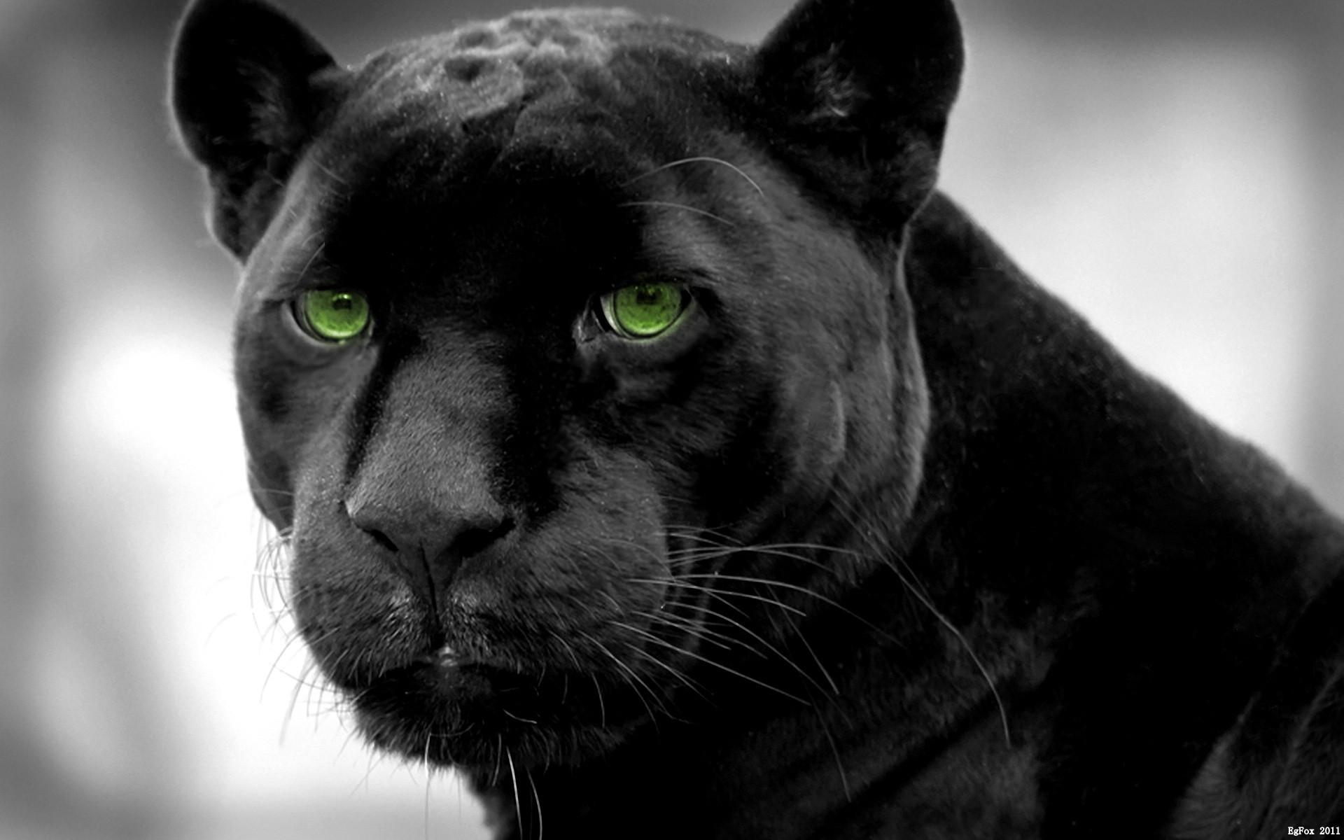 puma animale nero