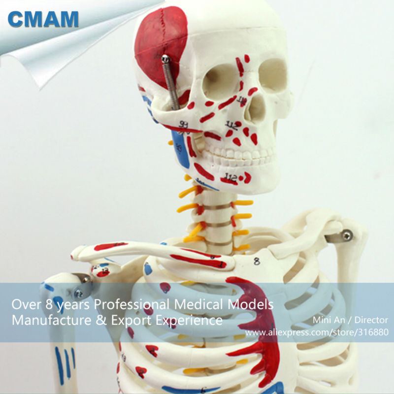 CMAM-SKELETON04 85cm Skeleton Model with Muscle Painted for Medical Science, Best Gift for Orthopaedist rovertime rovertime rtm 85