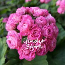 5pcs Rare Pink Red Geranium plants Perennial Rare Flower plants For Indoor Balcony Rooms Bonsai Potted Flower Elegant Mix-Color