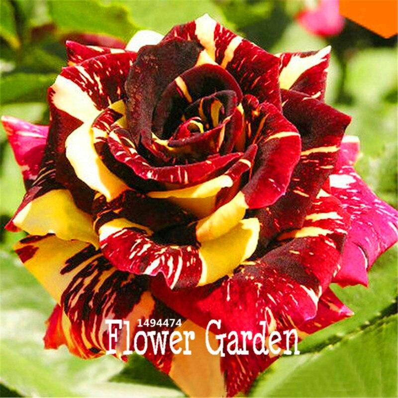 Big Sale!Rare stripe rose bush seeds flowers for room ,Beautiful Garden Bonsai Exotic potted Plant sementes,10Seed/Bag,#KFK2RD