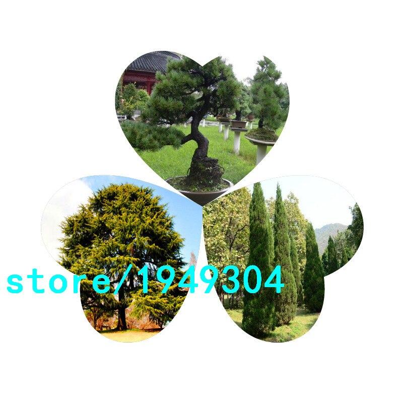 Pine Tree Seeds, bonsai Pinus Thunbergii Seeds,Teach U