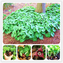 100 Pcs/Bag Wild Ginger (Asarum canadense) Bonsai AKA Canadian Ginger Vigorous Groundcover Perennial Outdoor Plant For Garden(China)