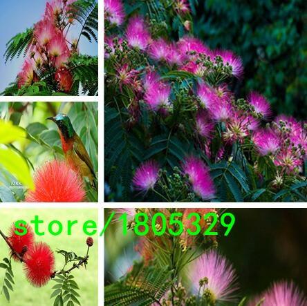 Superior Acacia Flower Seeds Promotion!!! 24 Types 50pcs Rare Acacia Seeds for Garden Home & Garden Flores indoor Plants
