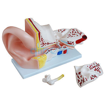 5X Life Size Human Ear Anatomy Medical Model in 3 Part Removable Sections medical science colored muscle origins and insertions in half head life size plastic skull model
