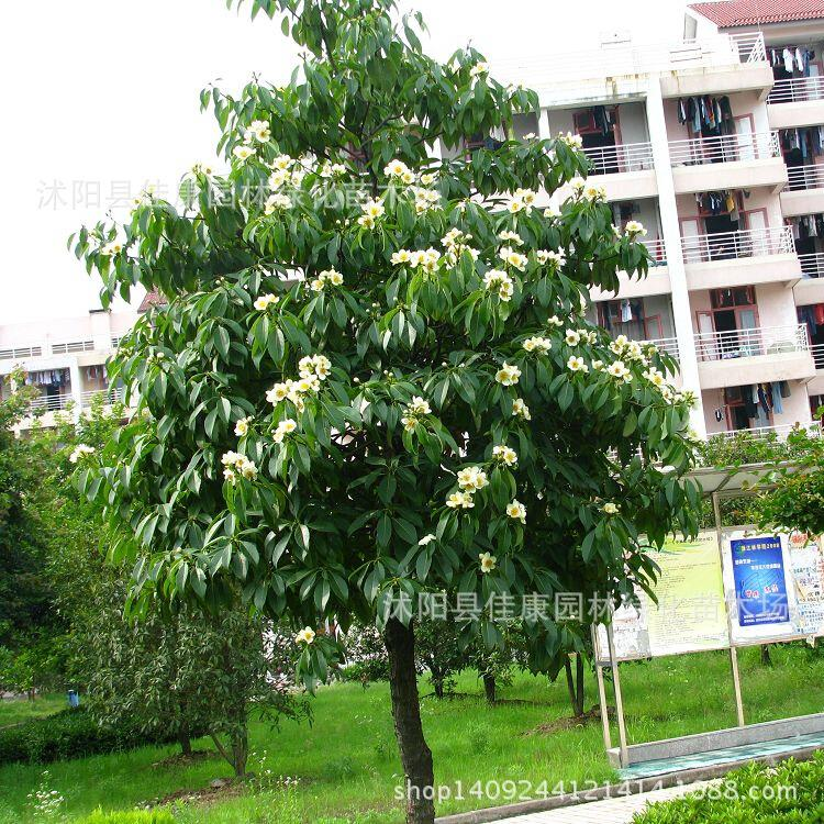 Eeduperba bois portant arbre plante peut être planté aplant médecine aplantplanturance 200 g/paquet arbre plante