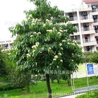 eeduperba wood bearing tree plant can be uplanted aplant medicine aplantplanturance 200g / Pack tree plant